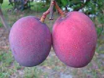 unidad de Mango (400-500gr)