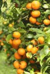 500gr Mandarina Orri
